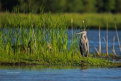 Iowa City, Iowa 7/16/2016 (Doug Lambert) Tags: terrytruebloodrecreationarea iowacity iowa midwest landscape scenery greatblueheron bird nature wildlife terrytrueblood water