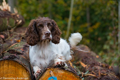 Resting (Flemming Andersen) Tags: wood zigzag trstammer logs dog outdoor autumn cocker hund animal trstammer give regionsyddanmark denmark dk