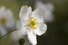 Anemoneae (milance1965) Tags: anemone macro sonne garten weiss white sony a55 flower beauty
