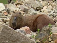 IMG_4774-001 (Dorita F. Teixeira) Tags: brasil brazil capybara brown rocks telephoto canon nature wild wildlife