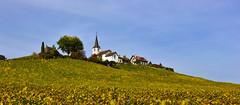 Au coeur des vignes (Diegojack) Tags: paysages panorama lacte fchy vignes vignoble automne