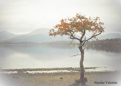 That tree (Nicolas Valentin) Tags: tree scotland balmaha ecosse lochlomond lomond nature landscape