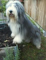 52-47 Garden Helper (Debbie G) Tags: portrait dog garden gardening beardie beardedcollie baggins 52weeksfordogs