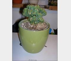 Cactus-Tillandsia-8 (cuirung) Tags: jade gollum haworthia airplant crassula felina faucaria perforata tigerjaw cactustillandsia bulbbolsa