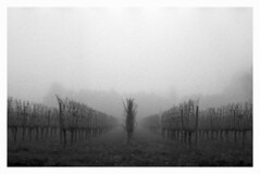 Retina in the fog #7 (Italian Film Photography) Tags: film fog alberi landscape woods wine kodak 200 retina 1b fomapan vigneti nebia