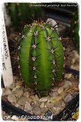 Trichocereus peruvianus 'Los Gentiles' (farmer dodds) Tags: cactus cactaceae mescaline echinopsis trichocereus trichocereusperuvianus sacredsucculents echinopsisperuvianus trichocereusperuvianuslosgentiles