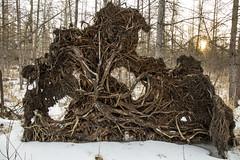 Tamarack Roots at Sunrise (gamelaner) Tags: minnesota sunrise roots bog tamarack sna larixlaricina stwendel mndnr saintwendel scientificandnaturalarea stwendeltamarackbog