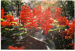 Flower and the sunbeam (ngtrunganh.2105) Tags: sunlight film analog md paradise minolta x700 filmisnotdead 28f28