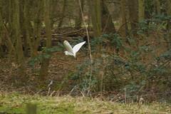 _MG_0867R The Egret's Flight, Jon Perry - Enlightenshade, 28-2-15 zaj (Jon Perry - Enlightenshade) Tags: egret 28215 whitebird birdinflight flyingbird jonperry flyingegret enlightenshade arranginglightcom 20150228