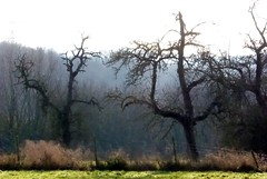 new year's trees (erix!) Tags: trees winter bald ste bume kahl obstbume drreste