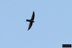 Germain's Swiftlet (Aerodramus germani germani) (Dave 2x) Tags: thailand inflight swift swiftlet maetaeng germani aerodramus germansswiftlet germainsswiftlet aerodramusgermani aerodramusgermanigermani