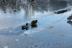 IMG_014733 (uk_frogman) Tags: nature frozen wildlife ducks scarborough mallard waterfowl mere northyorkshire icedup seamerroad 31stjanuary2015