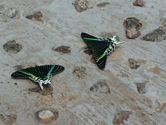 Moths -- Not Swallowtail Butterflies (Odonata457) Tags: green ecuador wildlife center page moths napo uraniafulgens