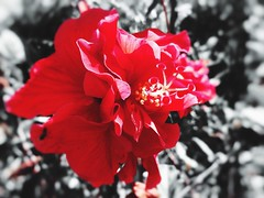 Red Hibiscus Flower (Dari_Extension) Tags: flowers red hibiscus
