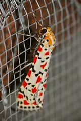 Crimson-speckled Footman (Utetheisa pulchella) (berniedup) Tags: southafrica moth arctiinae kruger crocodilebridge erebidae utetheisapulchella taxonomy:binomial=utetheisapulchella crimsonspeckledfootman