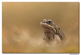La Grenouille rousse - Rana temporaria