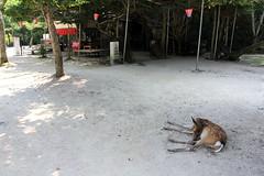 1 (  / Yorozuna) Tags: japan mammal sleep hiroshima deer miyajima itsukushima     hatsukaichi cervusnippon           japandeer