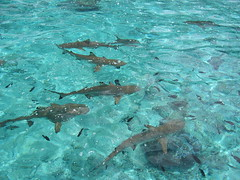 A School of Sharks