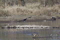IMG_8021 (armadil) Tags: bird birds oregon duck spring ducks eugene deltapond