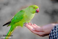 Red beak parrot (Tom Fezz) Tags: birds parrot redbeak tomferrier