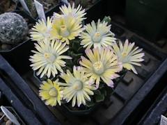 Aloinanthus hybrid