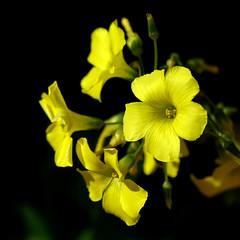Yellow  /  Amarillo (Benissiva Calling (sparing eyes )) Tags: yellow weed sony amarillo wildflower oxalis a6000 55210mm malahierbabonita
