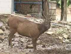 Sambar Deer Khao Yai Thailand