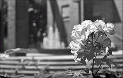 "echoes of May ... ;/) Kiev 19M ""Luciferum"" (schyter) Tags: camera bw slr 35mm lens monocromo kodak trix bn negative homemade 400 soviet epson format ttl v600 135 kiev lightmeter arsenal negativo development bianconero onboard 250 analogica lodi analogic blackwithe 24x36 adox adonal 320iso kiev19m argentica nikonbayonet arsath homemadescanned 19m"
