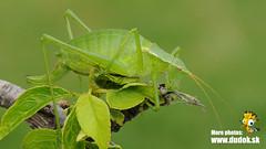 Isophya spp. (Jn Svetlk) Tags: orthoptera tettigoniidae