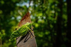 Panama-012 (s4rgon) Tags: centralamerica dschungel heuschrecke jungle locust panama panamacity suburbs panamá pa