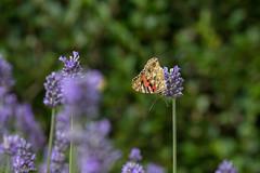 IMG_4908 (ElsSchepers) Tags: limburglavendel lavendelhoeve stokrooie kuringen hasselt natuur vlinders