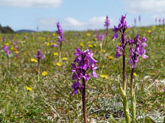 Early purple orchids (Orchis mascula ssp albiensis), Peyrepertuse (Niall Corbet) Tags: france lang roussillon aude peyrepertuse earlypurpleorchid orchismasculasspalbiensis orchismascula orchid purple