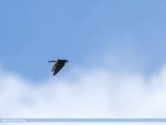 Northern House Martin (Delichon urbicum) (gilgit2) Tags: avifauna birds canon canoneos7dmarkii category fauna feathers geotagged ghizer gilgitbaltistan imranshah location northernhousemartindelichonurbicum pakistan shandur species tags tamron tamronsp150600mmf563divcusd wildlife wings gilgit2 delichonurbicum
