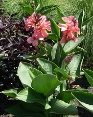 Chicago, Lincoln Park, Plants and Flowers (Mary Warren (7.1+ Million Views)) Tags: chicago lincolnpark nature flora plants leaves foliage pink blooms blossoms flowers