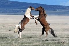 You wanna piece of me? (mooreskyler242) Tags: horse stallion wildhorse onaquihma onaquiherdmanagementarea