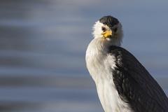 Little Pied Cormorant 2016-07-09 (60D_2140) (ajhaysom) Tags: littlepiedcormorant microcarbomelanoleucos highlandslake craigieburn melbourne australia australianbirds canoneos6d sigma150600