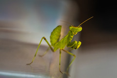 Mantis I (good_for_nothing) Tags: macro canon 5d mark ii 100mm 28 mantis bug insecto verde prayingmantis religiosa macrophotography