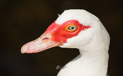Muscovy Duck (M-M_Photo) Tags: red portrait orange sun sunlight white black green bird eye nature face yellow blackbackground canon mouth neck eos bill duck mask head wildlife birding beak feathers feather clean telephoto greeneye l f56 sideview len ef 100400mm 56 brightred lenses muscovy yelloweye 400mm muscovyduck redface 100400 eflens 5d3 5diii 100400ii