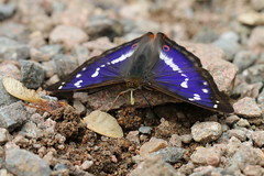 his majesty the purple emperor(explored) (andy_porter69) Tags: butterfly woods purple his northants emperor majesty fermyn purpleemperor explored fermynwoods