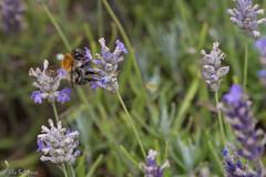 IMG_4888 (ElsSchepers) Tags: hasselt natuur vlinders kuringen stokrooie limburglavendel lavendelhoeve