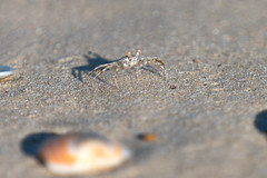 DSC00922 (bene venire) Tags: sea tufted ghost crab