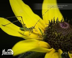 Bush Katydid Nymph (jfarleyphotography) Tags: katydid macrophotography katydidnymph canon5dmarkiii