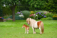 Mother and newborn in a garden (andzwe) Tags: flowers garden child young mother pony newborn panasonicdmcgh4