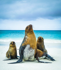 Galpagos Sea Lions (Wild Birdy) Tags: cute sea ocean water beach sealion adorable family galpagos galapagos ec ecuador island vacation sand shore waves galpagossealions zalophuswollebaeki brilliant
