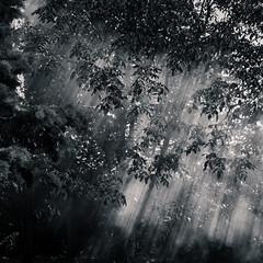 L'ombre des noyers II (Kevin STRAGLIATI) Tags: wood light shadow sun sunlight tree nature leaves fog ray smoke walnut campaign