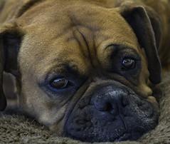 Brando (Bill Gracey) Tags: dog boxer canine portrait offcameraflash bounceflash yn560iii yongnuorf603n brando animal dogportrait soulful pet