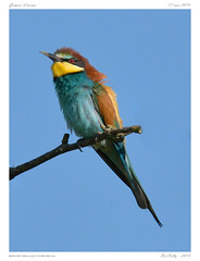 Gupiers d'europe | European Bee-eater | Merops apiaster (BerColly) Tags: food france bird google flickr branch wasp oiseau nourriture auvergne branche gupe meropsapiaster europeanbeeeater puydedome gupierdeurope bercolly
