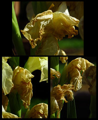 Gladi forever, not fade away ... (Scozmo's Photery - Uploader down again??) Tags: flowers flora gladioli decay dying collage