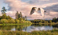 GE: Evening Above Dillon Falls (Johnrw1491) Tags: sunset art nature birds clouds oregon digital river photography landscapes bend wildlife great fine flight processing egrets