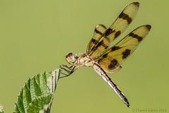 Halloween Pennant (Celithemis eponina) female (danielusescanon) Tags: halloweenpennant celithemiseponina lakeartemesia maryland dragonfly female